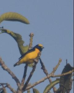 Trinidad Euphonia