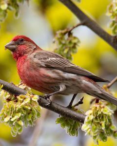 Purple Finch (Eastern)