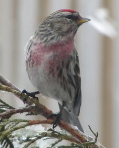 Common Redpoll