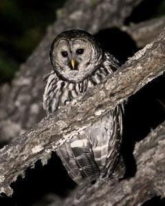Barred Owl (Cinereous)
