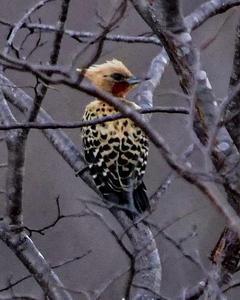 Ochre-backed Woodpecker