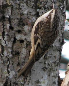 Brown Creeper (occidentalis Group)