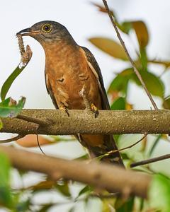 Brush Cuckoo (Rusty-breasted)