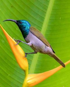 Green-headed Sunbird (Green-headed)
