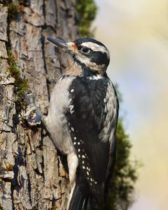 Hairy Woodpecker (Pacific)