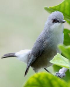 Mauritius Gray White-eye