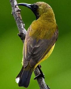 Olive-backed Sunbird (Olive-backed)