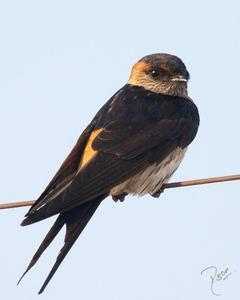 Red-rumped Swallow (West African)