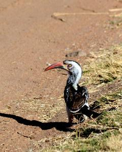 Southern Red-billed Hornbill