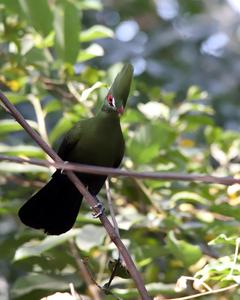 turaco sp.