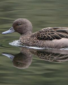 Andean Teal (Andean)