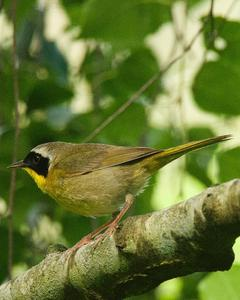 Common Yellowthroat (arizela Group)