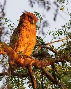 Brown Fish-Owl (Eastern)