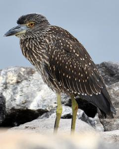 Yellow-crowned Night-Heron (Galapagos)