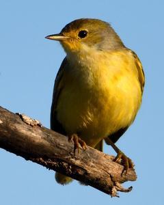 Yellow Warbler (Galapagos)