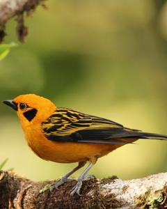 Golden Tanager (Golden)