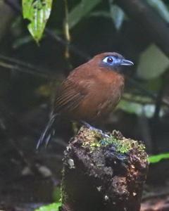 Zeledon's Antbird