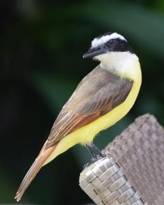 White-throated/Tropical Kingbird