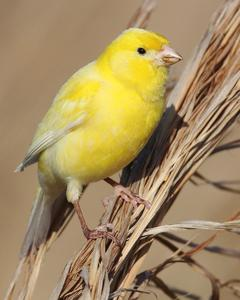 Island Canary (Domestic type)