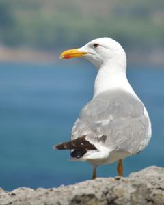 Yellow-legged Gull (michahellis)