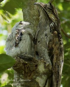 Northern Potoo (Middle American)