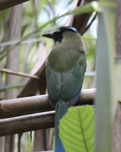 Blue-crowned Racquet-tail (Blue-crowned)