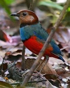 Sulawesi Pitta