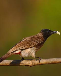 Red-vented/Red-whiskered Bulbul
