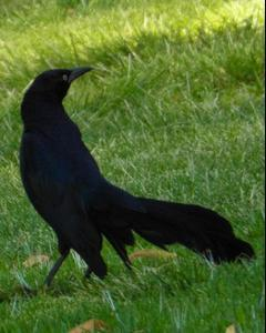 Great-tailed Grackle (Western)