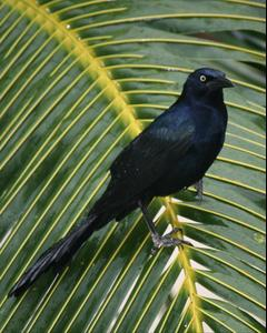 Great-tailed Grackle (Great-tailed)