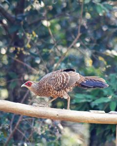 pheasant sp.