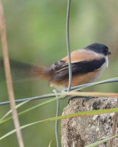 Long-tailed Shrike (tricolor/longicaudatus)