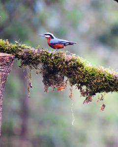 Indian/Chestnut-bellied Nuthatch