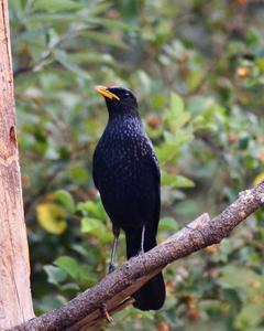 Blue Whistling-Thrush (Yellow-billed)