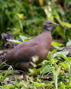 Brown Tinamou (Brown)