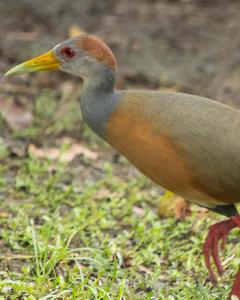 Gray-cowled Wood-Rail (Gray-cowled)
