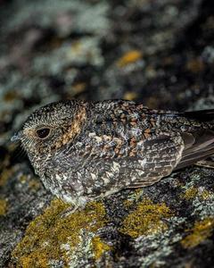 Band-winged Nightjar (longirostris)