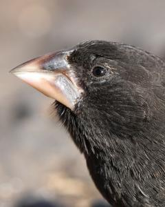 Española Ground-Finch