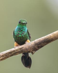 Booted Racket-tail (Peruvian)