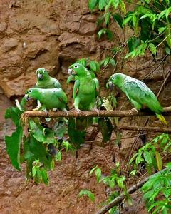 Mealy Parrot (Southern)