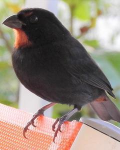 Lesser Antillean Tanager (St. Vincent)