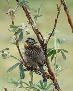 Rufous-collared Sparrow (Rufous-collared)