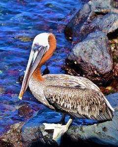 Brown Pelican (Galapagos)