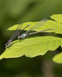Blue-tipped Dancer