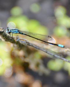 Skimming Bluet
