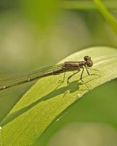 Blackwater Bluet