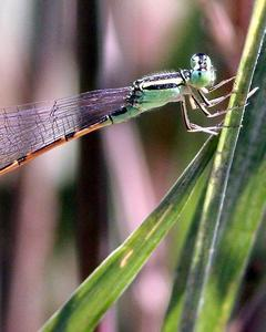 Desert Forktail