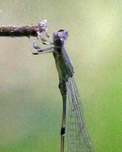 Cream-tipped Swampdamsel