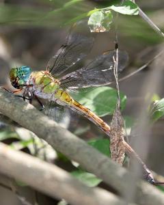 Coryphaeschna apeora