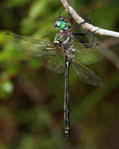 Treetop Emerald